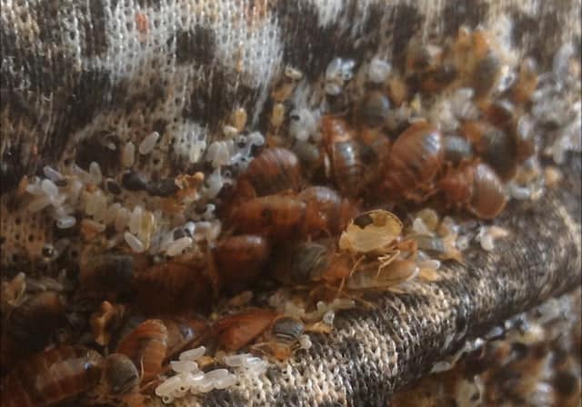 Bed-Bug-Removal